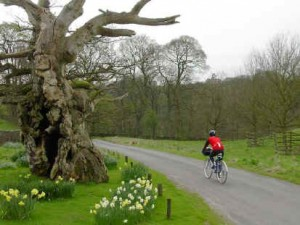 A rider passes an oak tree in the heart of Wharefedale